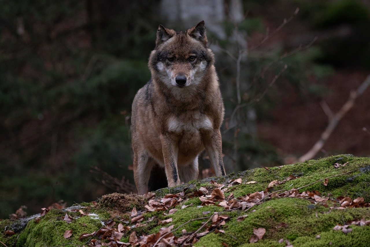 The wolf as both live animal and poetic symbol for the dangers in the world.